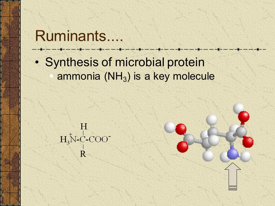 Ruminants.... Synthesis of microbial protein  ammonia (NH 3 ) is a key molecule R