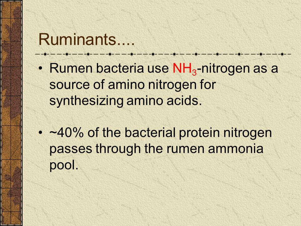 Ruminants.... Rumen bacteria use NH 3 -nitrogen as a source of amino nitrogen for synthesizing amino acids. ~40% of the bacterial protein nitrogen pas