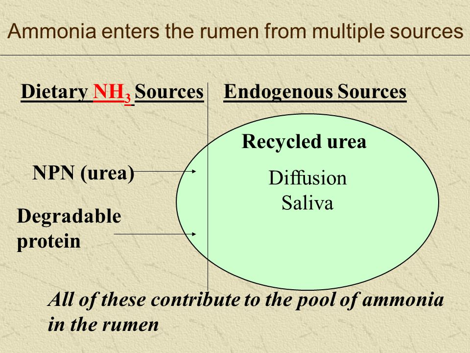 Diffusion Saliva NPN (urea) Degradable protein Recycled urea Dietary NH 3 SourcesEndogenous Sources All of these contribute to the pool of ammonia in the rumen Ammonia enters the rumen from multiple sources