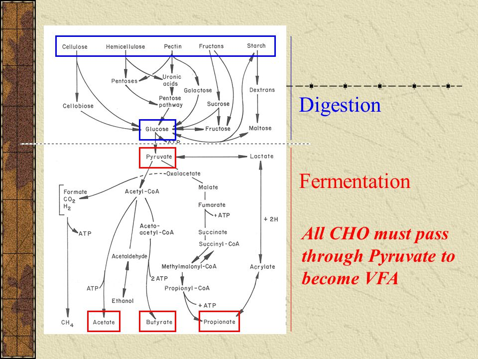 Digestion Fermentation All CHO must pass through Pyruvate to become VFA