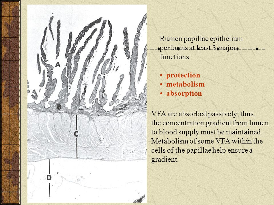 Rumen papillae epithelium performs at least 3 major functions: protection metabolism absorption VFA are absorbed passively; thus, the concentration gradient from lumen to blood supply must be maintained.