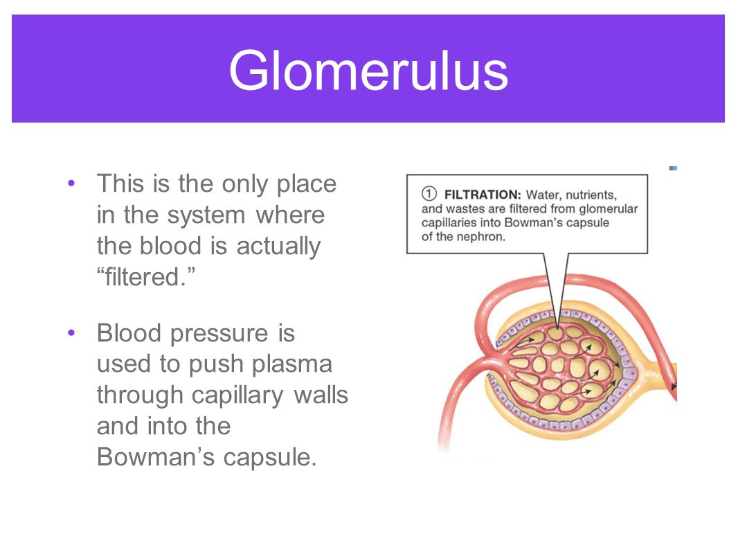 """Glomerulus This is the only place in the system where the blood is actually """"filtered."""" Blood pressure is used to push plasma through capillary walls"""