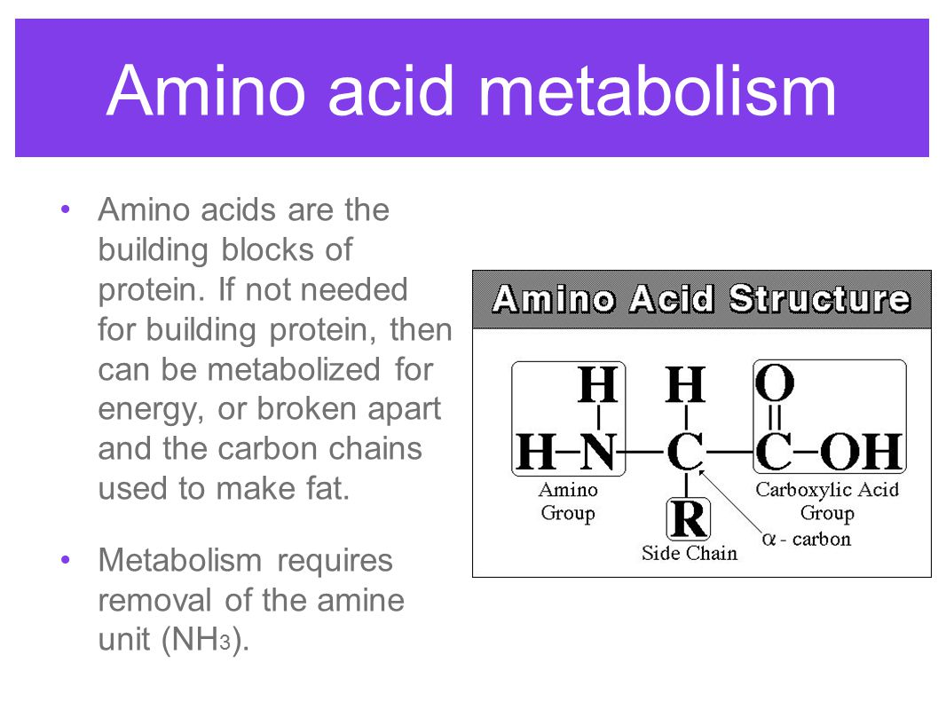 Amino acid metabolism Amino acids are the building blocks of protein. If not needed for building protein, then can be metabolized for energy, or broke