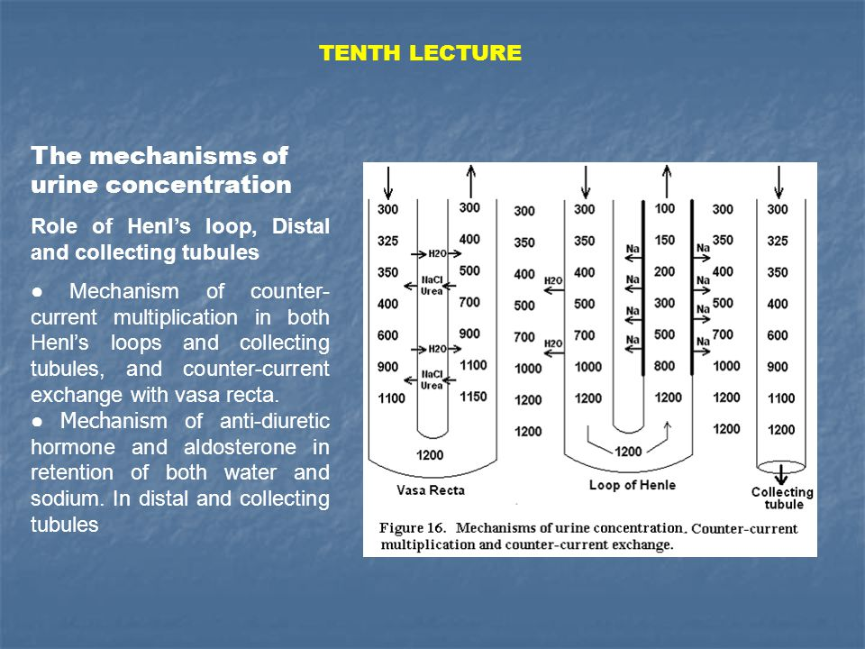 The mechanisms of urine concentration Role of Henl's loop, Distal and collecting tubules ● Mechanism of counter- current multiplication in both Henl's loops and collecting tubules, and counter-current exchange with vasa recta.
