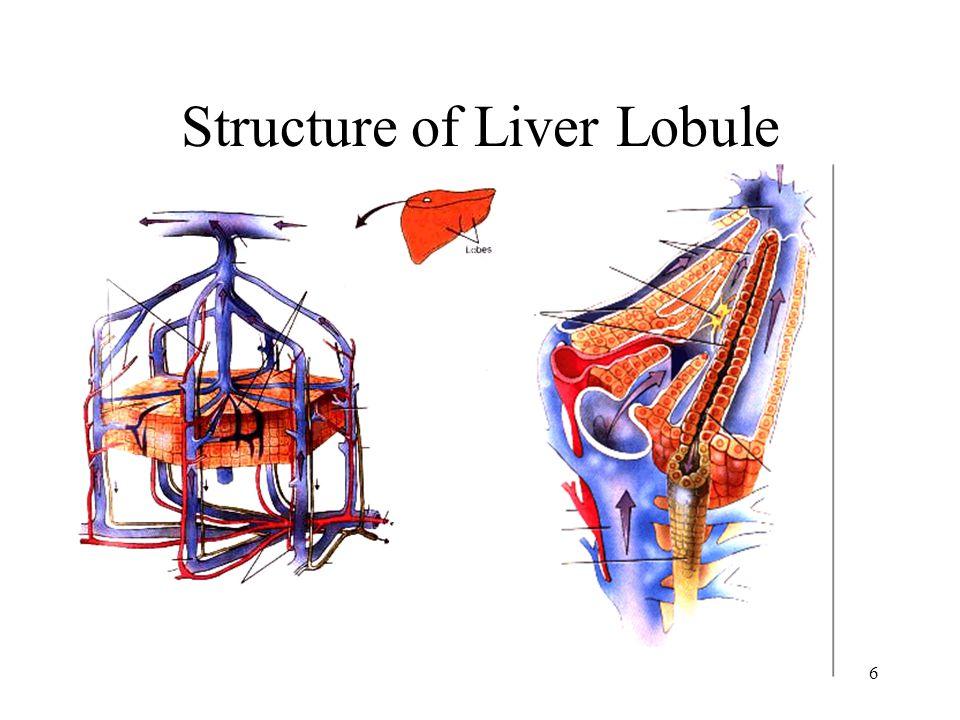 Normal Liver Histology