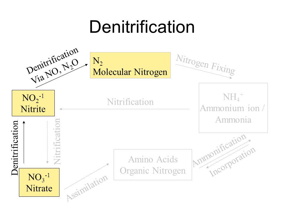 N 2 Molecular Nitrogen NH 4 + Ammonium ion / Ammonia Nitrogen Fixing Amino Acids Organic Nitrogen Incorporation Ammonification NO 2 -1 Nitrite NO 3 -1 Nitrate Denitrification Via NO, N 2 O Assimilation Nitrification Denitrification