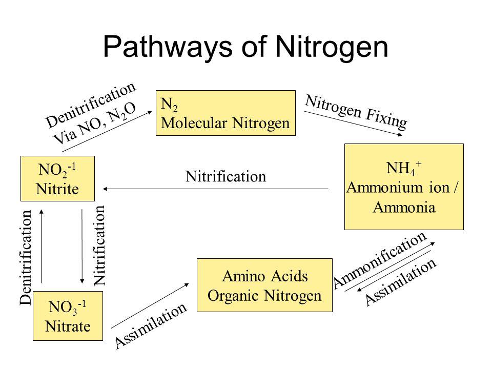 Pathways of Nitrogen N 2 Molecular Nitrogen NH 4 + Ammonium ion / Ammonia Nitrogen Fixing Amino Acids Organic Nitrogen Assimilation Ammonification NO 2 -1 Nitrite NO 3 -1 Nitrate Denitrification Via NO, N 2 O Assimilation Nitrification Denitrification