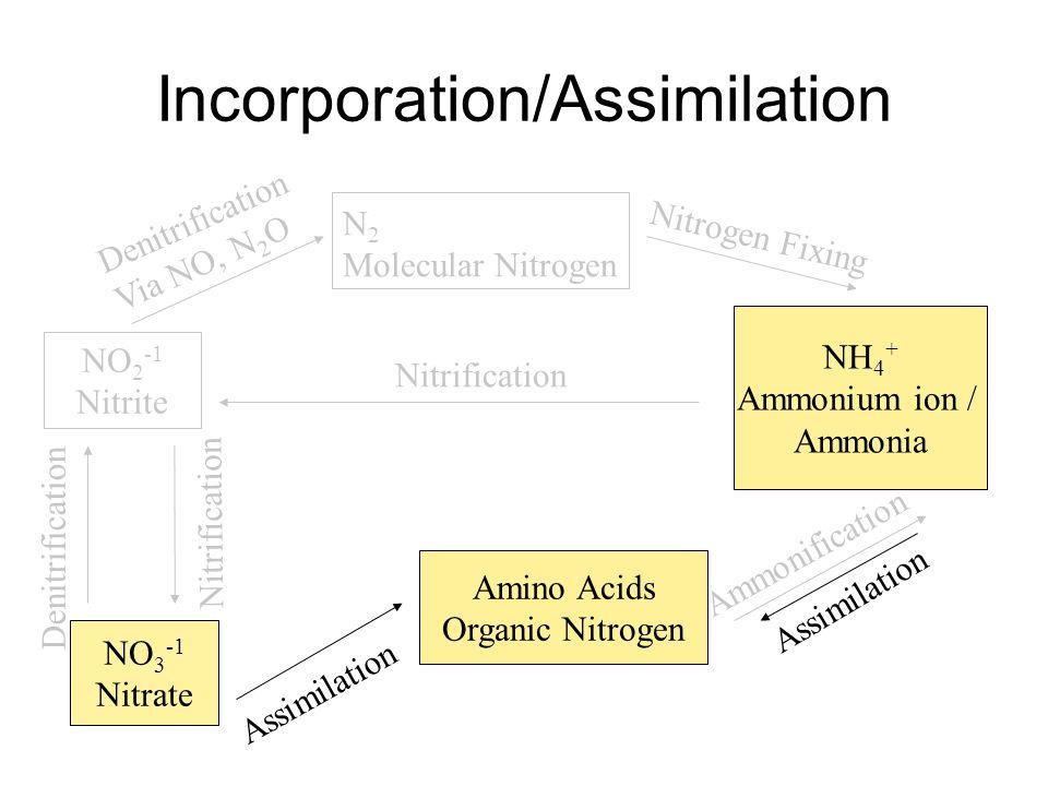 Incorporation/Assimilation N 2 Molecular Nitrogen NH 4 + Ammonium ion / Ammonia Nitrogen Fixing Amino Acids Organic Nitrogen Assimilation Ammonification NO 2 -1 Nitrite NO 3 -1 Nitrate Denitrification Via NO, N 2 O Assimilation Nitrification Denitrification
