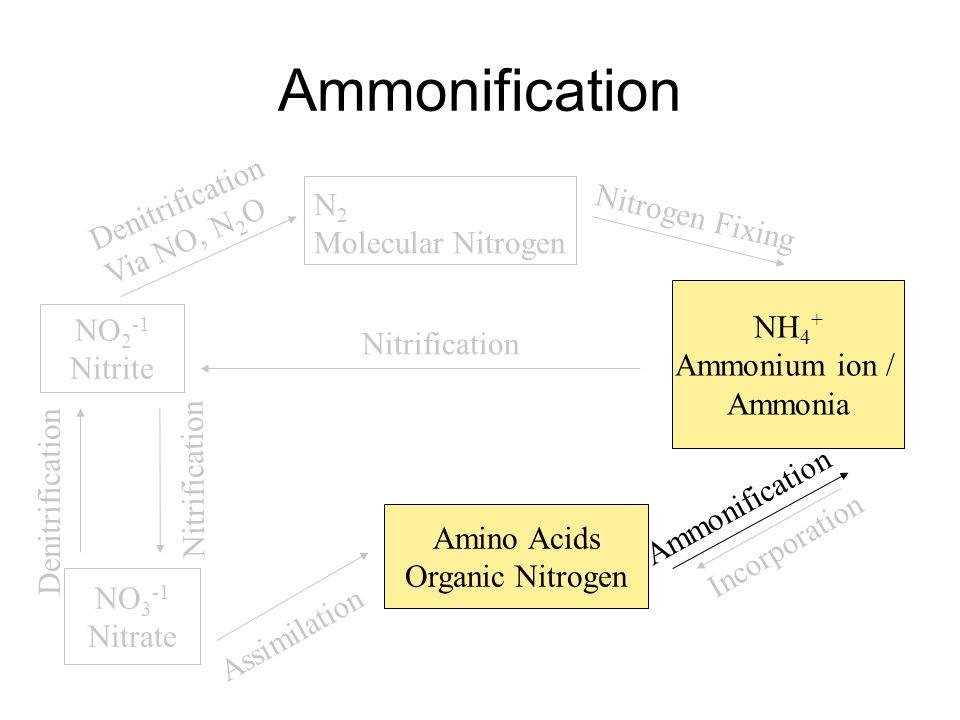 Ammonification N 2 Molecular Nitrogen NH 4 + Ammonium ion / Ammonia Nitrogen Fixing Amino Acids Organic Nitrogen Incorporation Ammonification NO 2 -1 Nitrite NO 3 -1 Nitrate Denitrification Via NO, N 2 O Assimilation Nitrification Denitrification