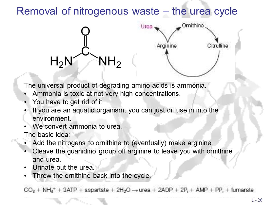 Removal of nitrogenous waste – the urea cycle 1 - 26 The universal product of degrading amino acids is ammonia.