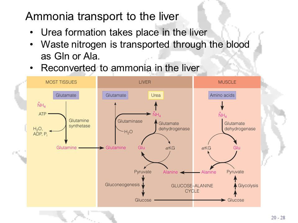 20 - 28 Ammonia transport to the liver Urea formation takes place in the liver Waste nitrogen is transported through the blood as Gln or Ala.