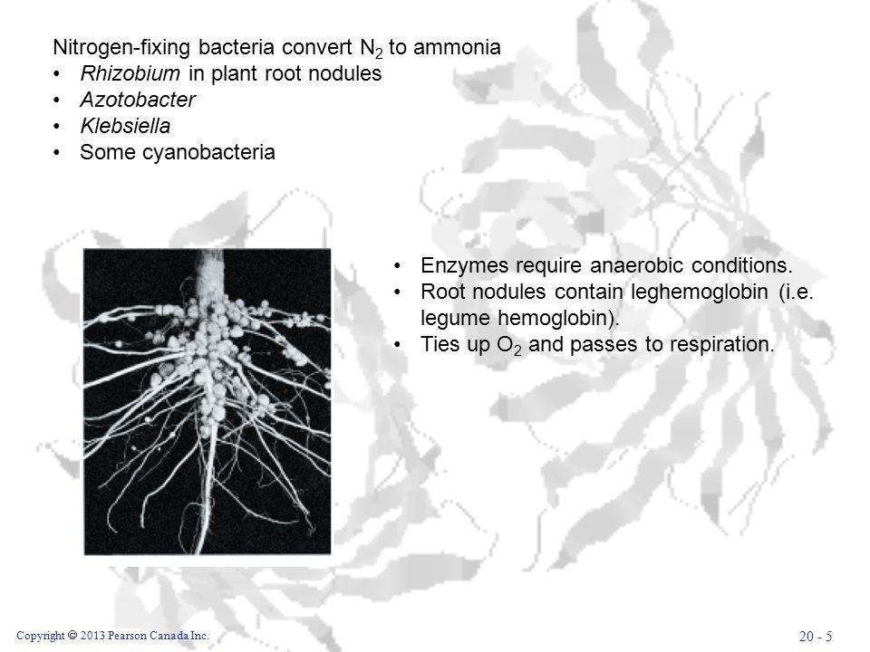 Copyright  2013 Pearson Canada Inc. 20 - 5 Nitrogen-fixing bacteria convert N 2 to ammonia Rhizobium in plant root nodules Azotobacter Klebsiella Som