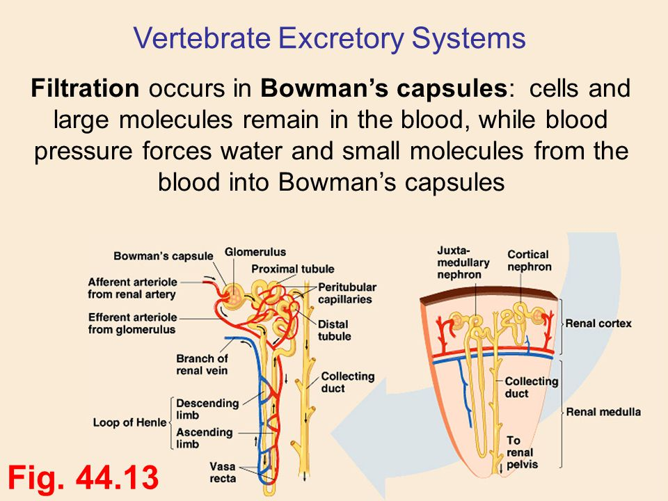 Filtration occurs in Bowman's capsules: cells and large molecules remain in the blood, while blood pressure forces water and small molecules from the