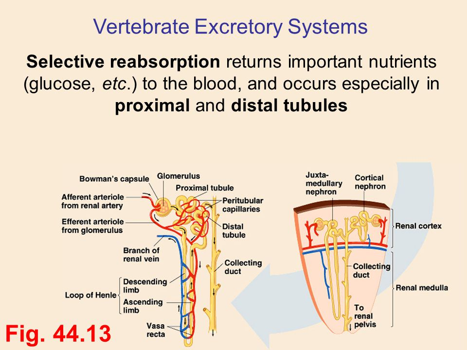 Selective reabsorption returns important nutrients (glucose, etc.) to the blood, and occurs especially in proximal and distal tubules Fig. 44.13 Verte