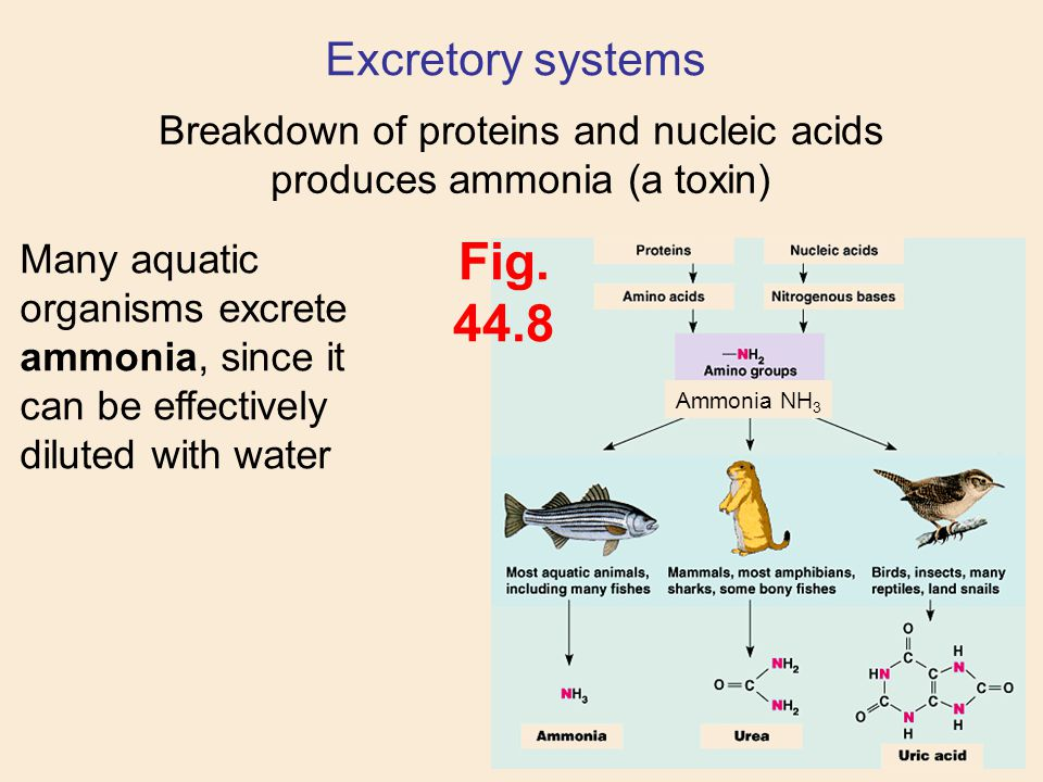 Excretory systems Breakdown of proteins and nucleic acids produces ammonia (a toxin) Ammonia NH 3 Mammalian livers convert ammonia into urea, which is much less toxic, and requires less water to excrete Fig.