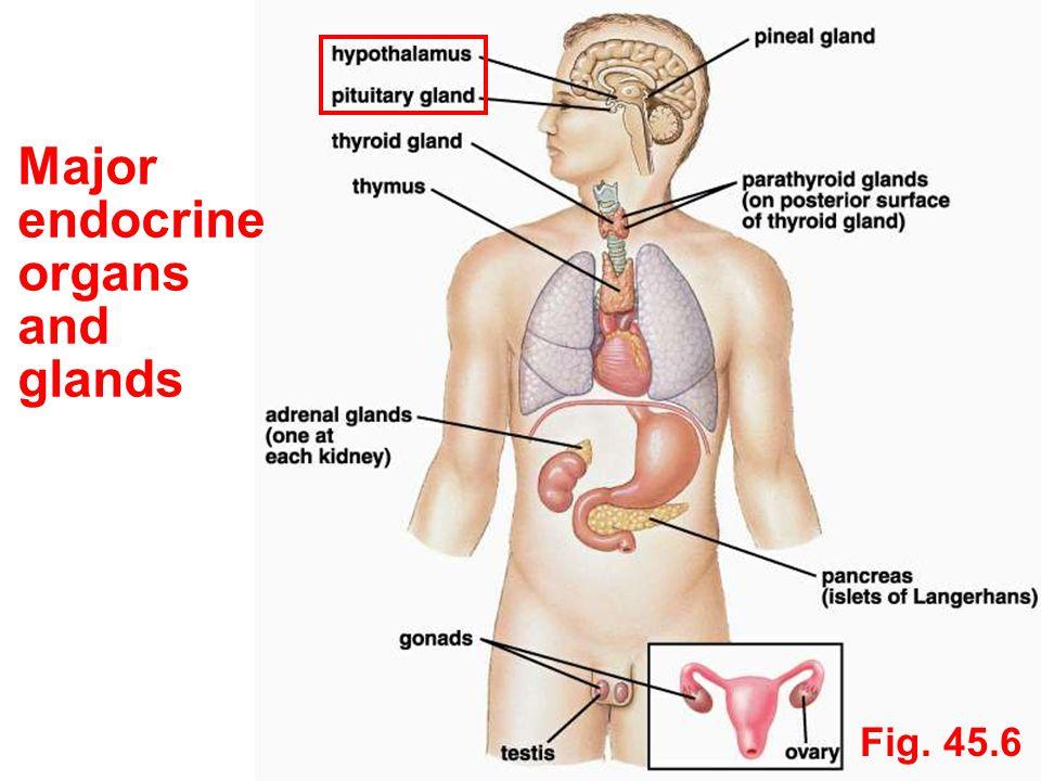 Major endocrine organs and glands Fig. 45.6