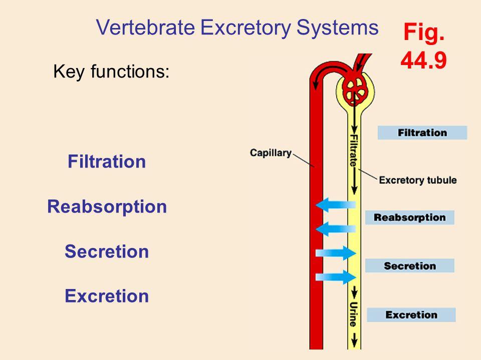 Vertebrate Excretory Systems Key functions: Fig. 44.9 Filtration Reabsorption Secretion Excretion
