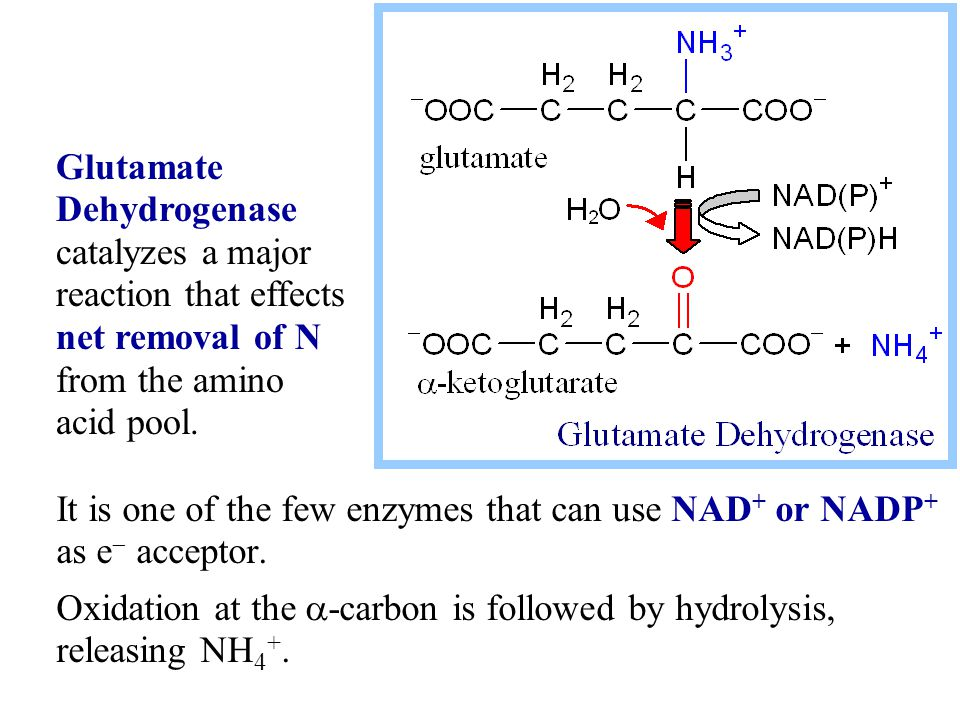 It is one of the few enzymes that can use NAD + or NADP + as e  acceptor.