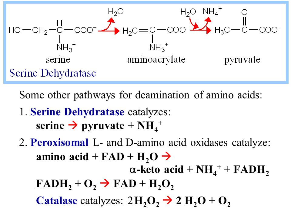 Some other pathways for deamination of amino acids: 1.