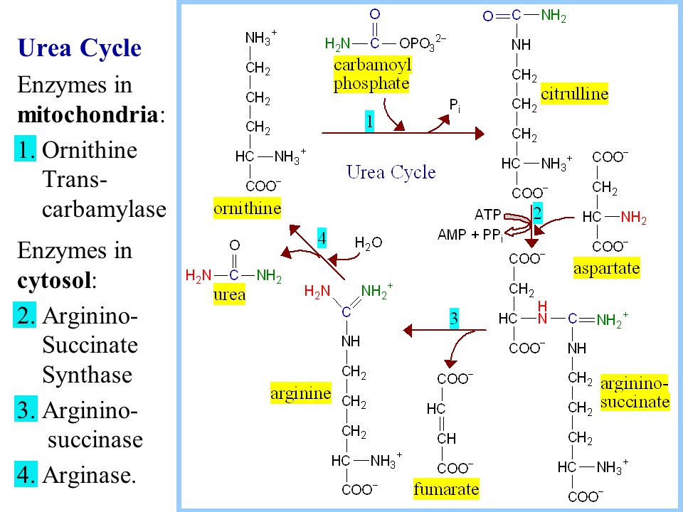 Urea Cycle Enzymes in mitochondria: 1. Ornithine Trans- carbamylase Enzymes in cytosol: 2.