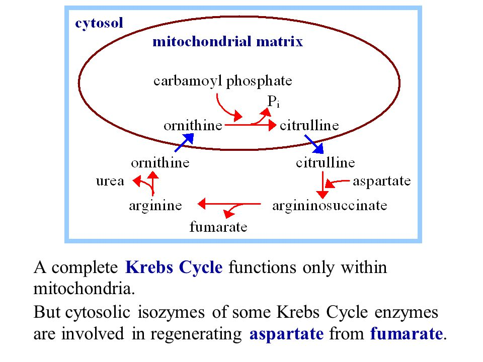 A complete Krebs Cycle functions only within mitochondria.