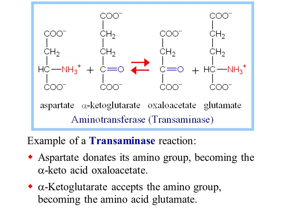 Example of a Transaminase reaction:  Aspartate donates its amino group, becoming the  -keto acid oxaloacetate.