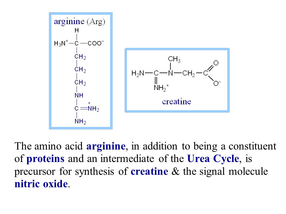 The amino acid arginine, in addition to being a constituent of proteins and an intermediate of the Urea Cycle, is precursor for synthesis of creatine & the signal molecule nitric oxide.