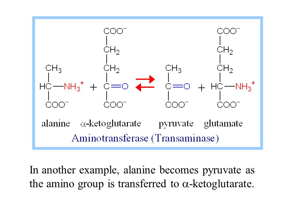 In another example, alanine becomes pyruvate as the amino group is transferred to  -ketoglutarate.