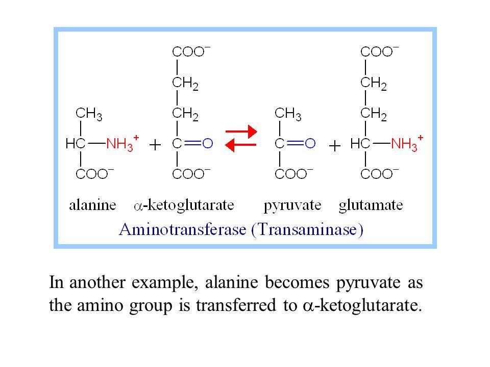 Fumarate is converted to oxaloacetate via Krebs Cycle enzymes Fumarase & Malate Dehydrogenase.