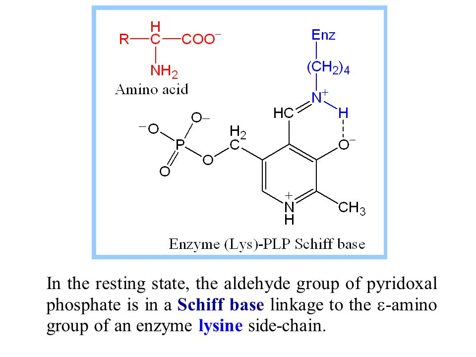 In the resting state, the aldehyde group of pyridoxal phosphate is in a Schiff base linkage to the  -amino group of an enzyme lysine side-chain.