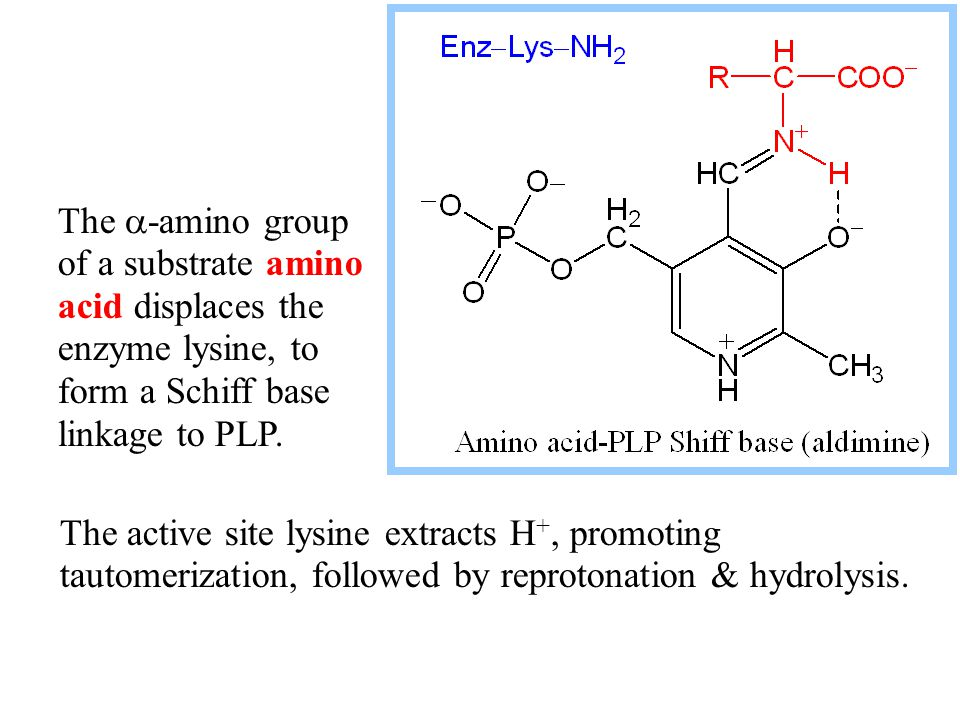 The amino group remains on what is now pyridoxamine phosphate (PMP).