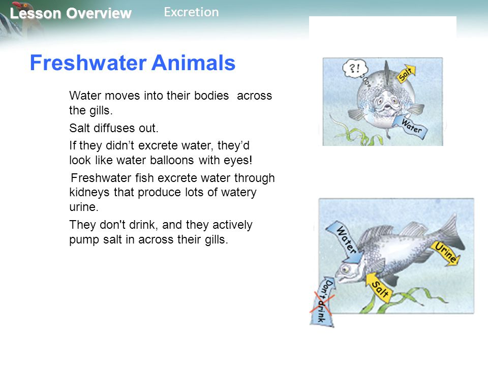 Lesson Overview Lesson OverviewExcretion Freshwater Animals Water moves into their bodies across the gills. Salt diffuses out. If they didn't excrete
