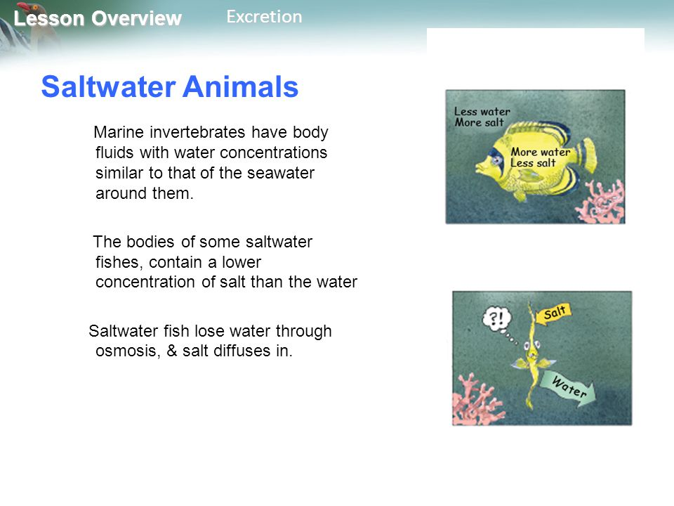 Lesson Overview Lesson OverviewExcretion Saltwater Animals Marine invertebrates have body fluids with water concentrations similar to that of the seaw