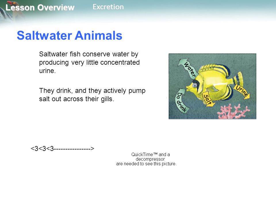 Lesson Overview Lesson OverviewExcretion Saltwater Animals Saltwater fish conserve water by producing very little concentrated urine. They drink, and