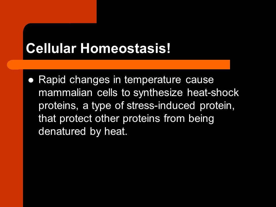 Cellular Homeostasis! Rapid changes in temperature cause mammalian cells to synthesize heat-shock proteins, a type of stress-induced protein, that pro