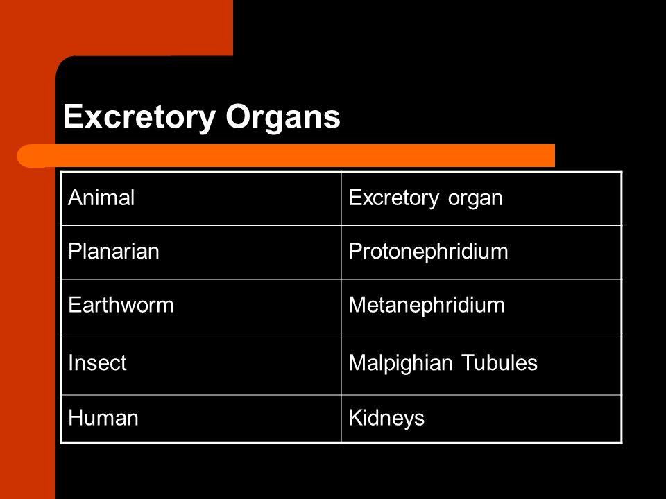 Excretory Organs AnimalExcretory organ PlanarianProtonephridium EarthwormMetanephridium InsectMalpighian Tubules HumanKidneys