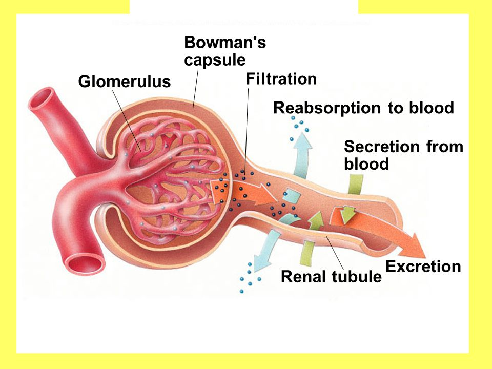 Fig. 49.18(TE Art) Copyright © The McGraw-Hill Companies, Inc. Permission required for reproduction or display. Renal tubule Excretion Filtration Reab
