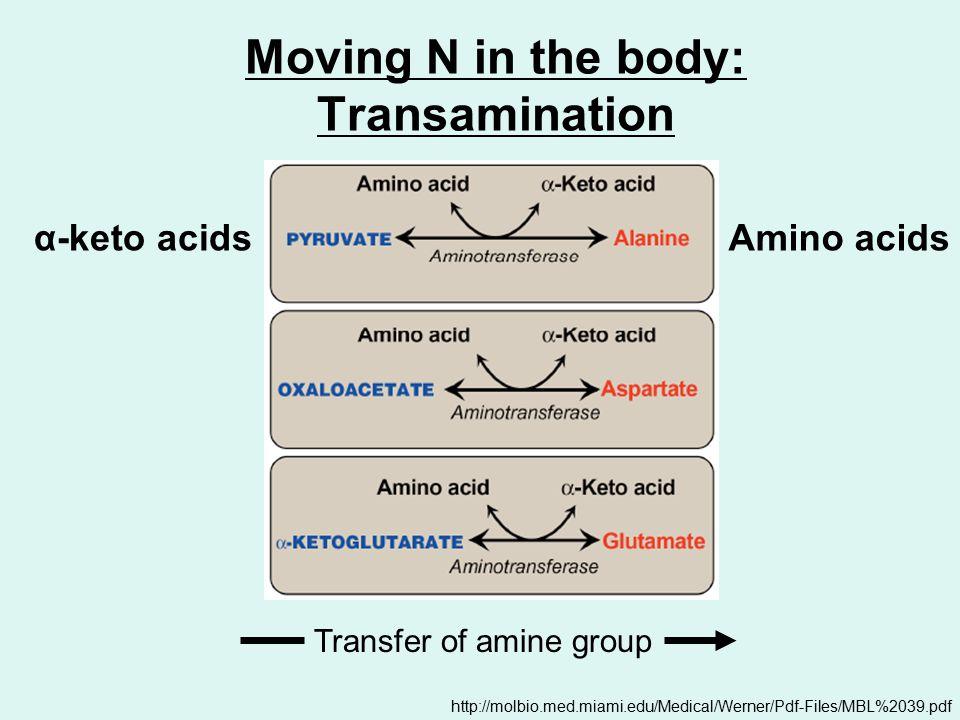 Moving N in the body: Transamination http://molbio.med.miami.edu/Medical/Werner/Pdf-Files/MBL%2039.pdf α-keto acidsAmino acids Transfer of amine group
