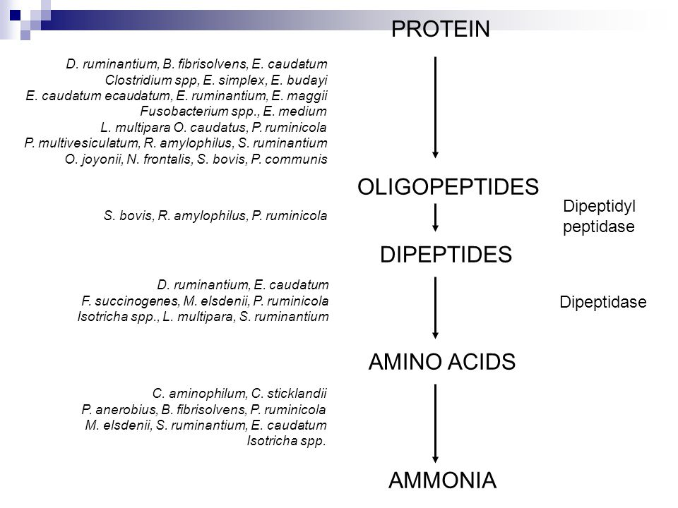 Bacteria cont'd R.amylophilus is the most active proteolytic bacteria.