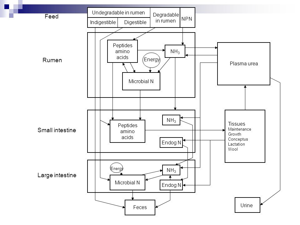 Routes of nitrogen excretion Urine (urea) Endogenous urinary N from the catabolism of tissue proteins Absorption and metabolism of excess ruminal ammonia.