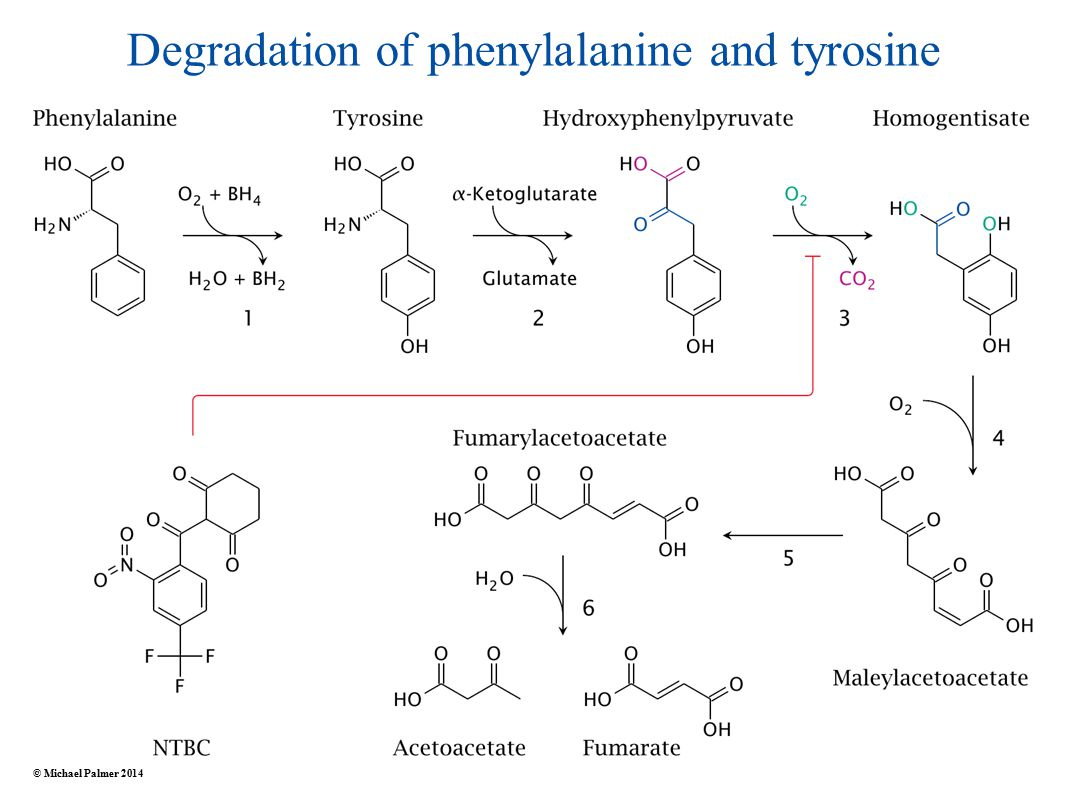 Degradation of phenylalanine and tyrosine © Michael Palmer 2014