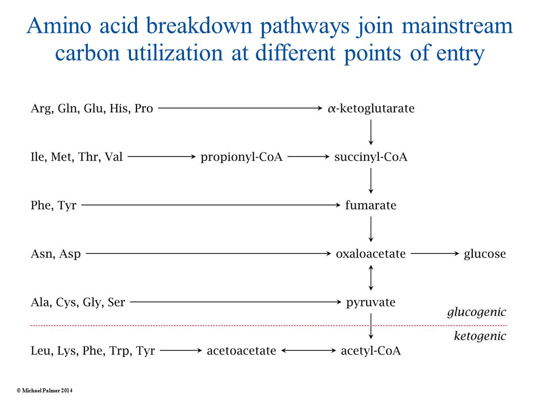 Amino acid breakdown pathways join mainstream carbon utilization at different points of entry © Michael Palmer 2014