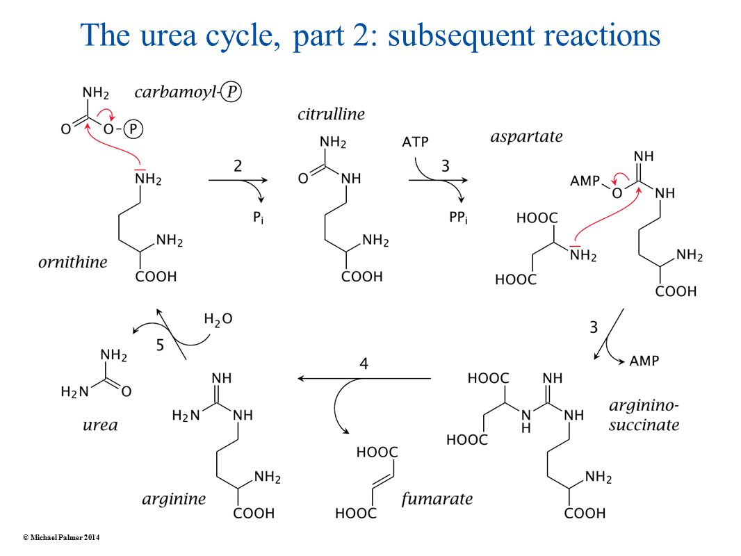 The urea cycle, part 2: subsequent reactions © Michael Palmer 2014