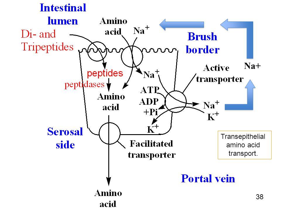 Transepithelial amino acid transport. Na+ 38