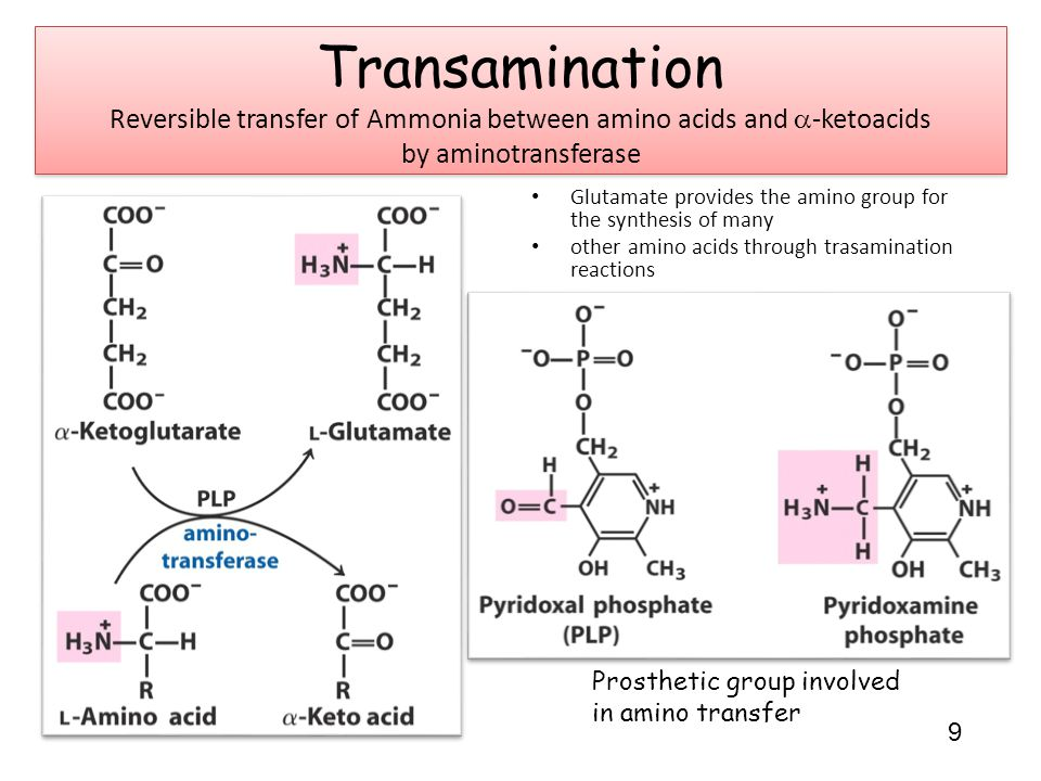Glutamate provides the amino group for the synthesis of many other amino acids through trasamination reactions Prosthetic group involved in amino transfer 9