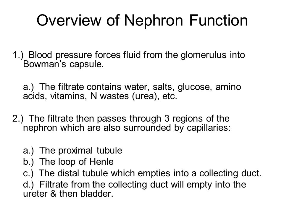 Overview of Nephron Function 1.) Blood pressure forces fluid from the glomerulus into Bowman's capsule. a.) The filtrate contains water, salts, glucos