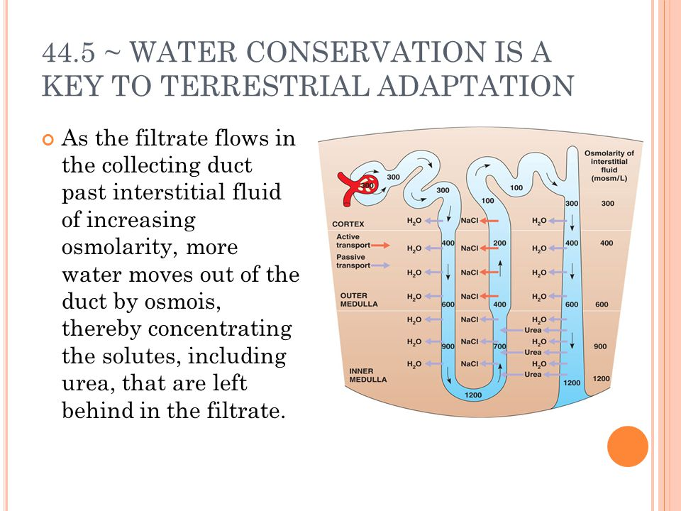 44.5 ~ WATER CONSERVATION IS A KEY TO TERRESTRIAL ADAPTATION As the filtrate flows in the collecting duct past interstitial fluid of increasing osmolarity, more water moves out of the duct by osmois, thereby concentrating the solutes, including urea, that are left behind in the filtrate.
