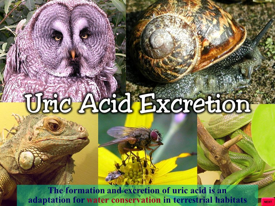 The formation and excretion of uric acid is an adaptation for water conservation in terrestrial habitats