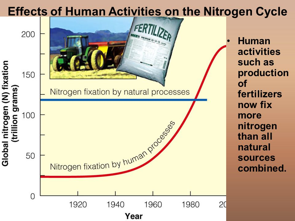 Effects of Human Activities on the Nitrogen Cycle Human activities such as production of fertilizers now fix more nitrogen than all natural sources combined.