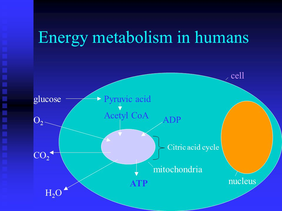 Energy metabolism in humans nucleus mitochondria cell glucosePyruvic acid Acetyl CoA Citric acid cycle O2O2 CO 2 ATP H2OH2O ADP